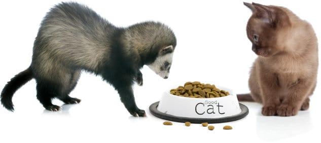 Ferret eating cat food