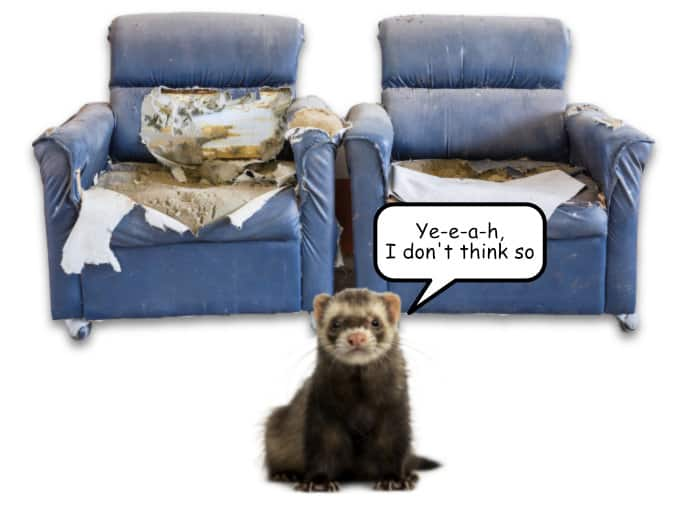 Do Ferrets Chew Furniture Yes And No Pet Gear Info