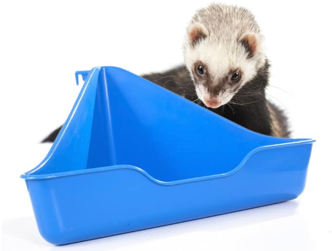 Ferret and litter box