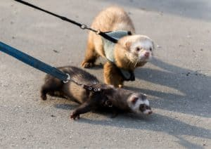 Ferret harness and leash used for walking two ferrets