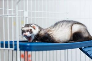 Ferret expressing his feelings about being in a cage