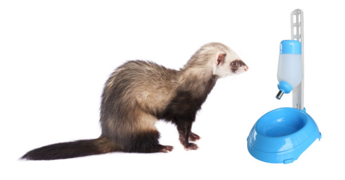 Ferret waiting for something to drink
