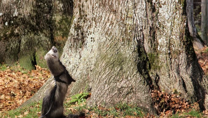 A ferret thinking about climbing a tree