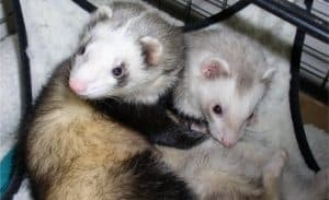 Two ferrets cuddling together