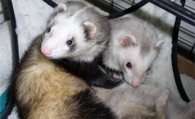 Two ferrets cuddling together