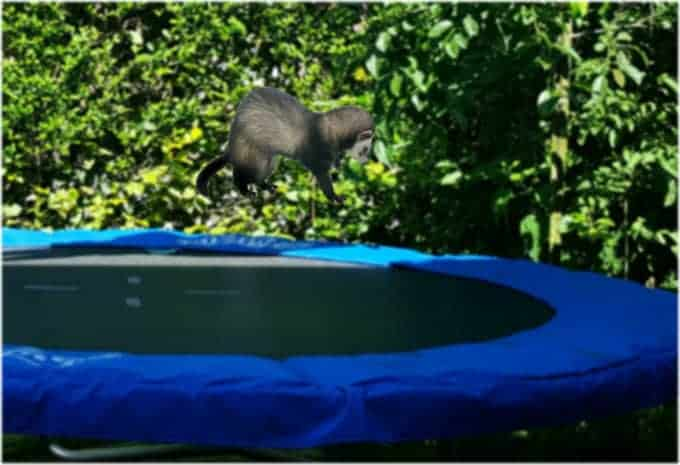 A ferret jumping on a trampoline