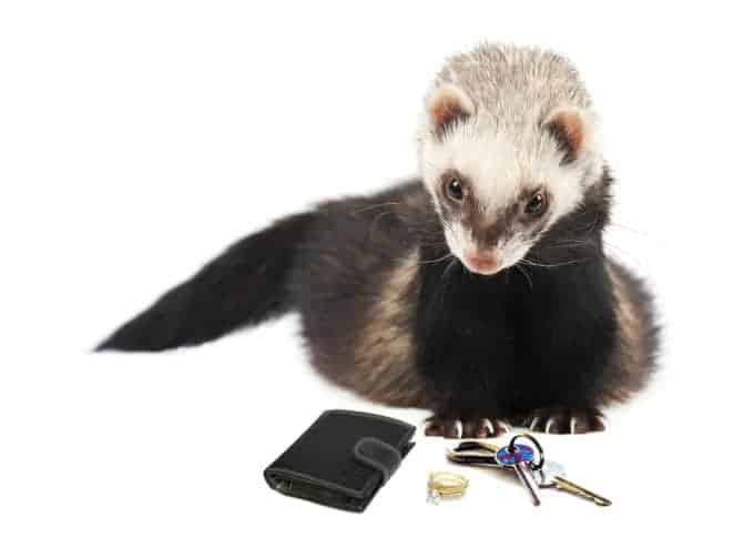 A ferret caught with the items it stole