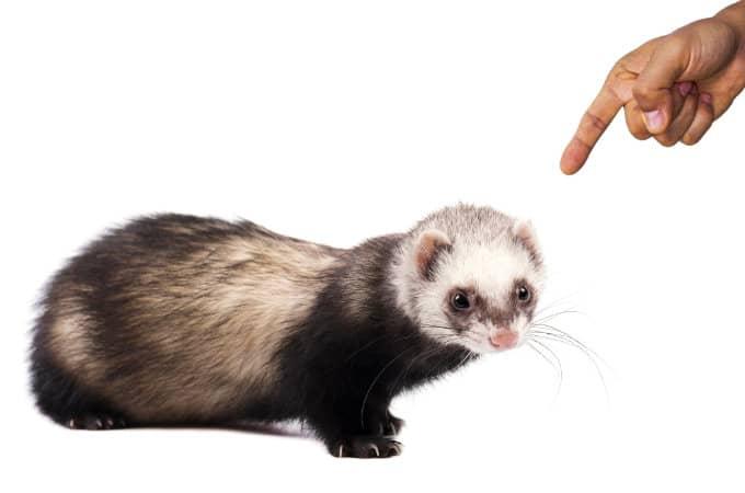 How to discipline a ferret