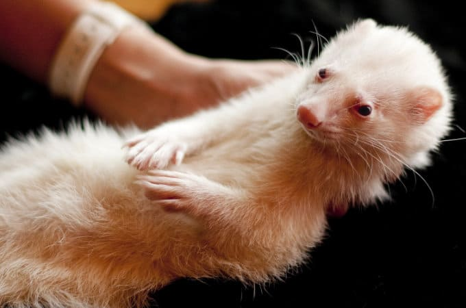 How to scruff a ferret