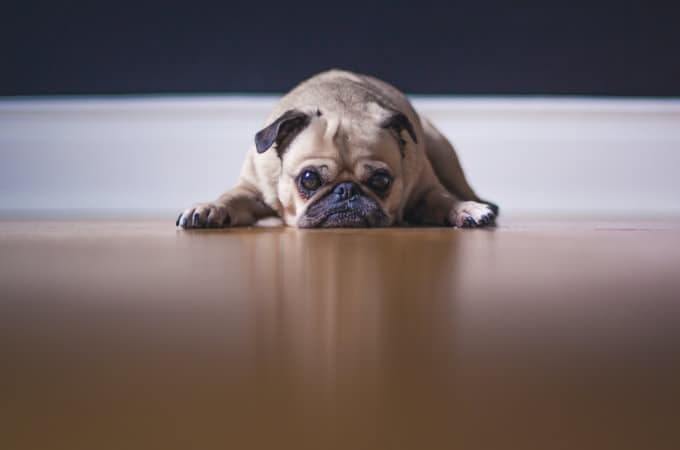Are pugs okay to be left alone