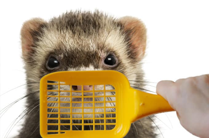 How to train your ferret to use the litter box.