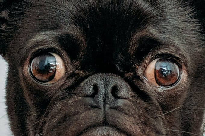 Why does my pug stare at me?