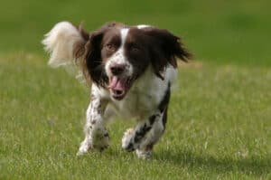 What age do Springer spaniels calm down?